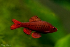 Барбус, Cherry Barb Male