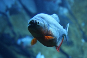 Пиранья, Georgia Aquarium - Piranhas