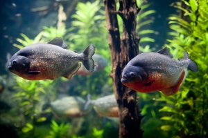 Пиранья, Piranhas, London Aquarium