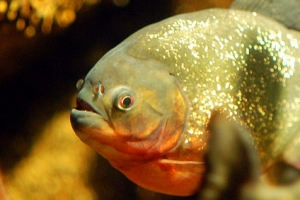 Пиранья, Red bellied Piranha